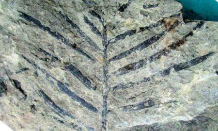 Fossilised Hash Plant